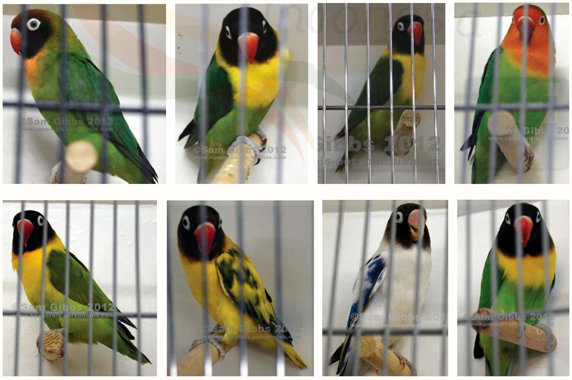 Juara dan nominasi kecantikan lovebird BVA 2012