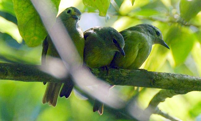Burung opior jawa