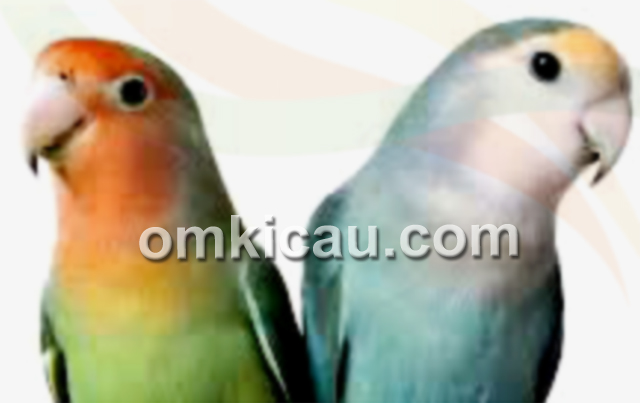 penilaian bentuk kepala lovebird