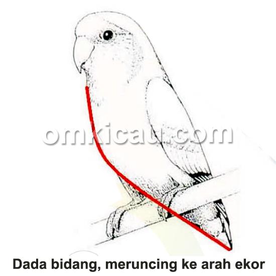 penilaian dada bidang lovebird