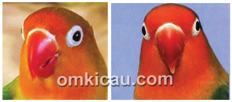 penilaian mata dan paruh lovebird