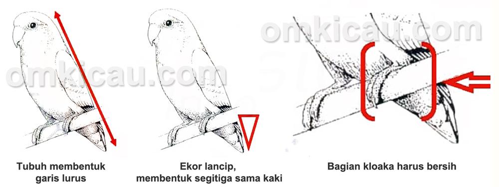 penilaian punggung dan kloaka lovebird