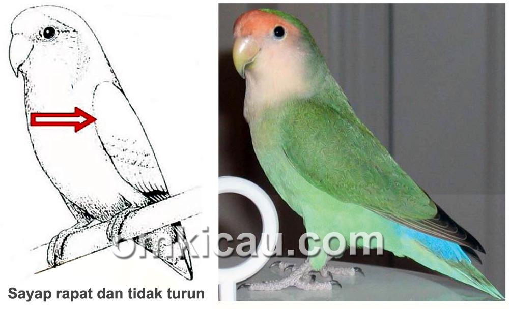 penilaian sayap lovebird