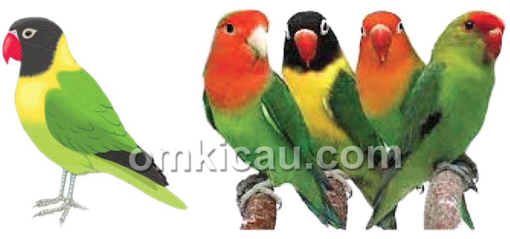 penilaian warna lovebird