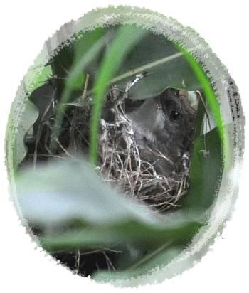Ciblek sedang mengerami telurnya