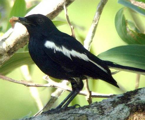 Kacer hitam spesies pluto dari Kalimantan