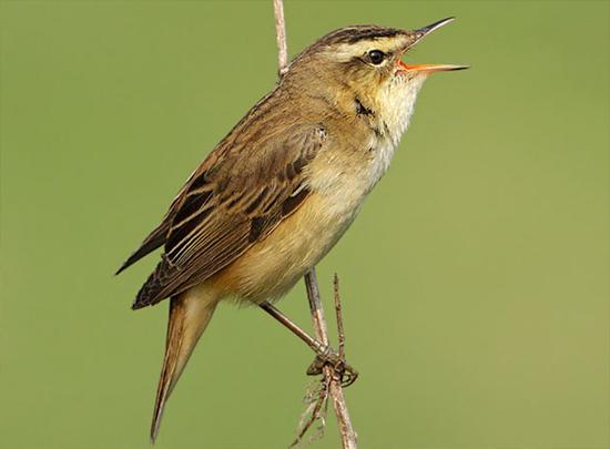 audio burung sedge warbler