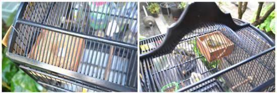 Metode penangkaran yang digunakan sama dengan penangkaran mozambik atau burung  blackthroat.