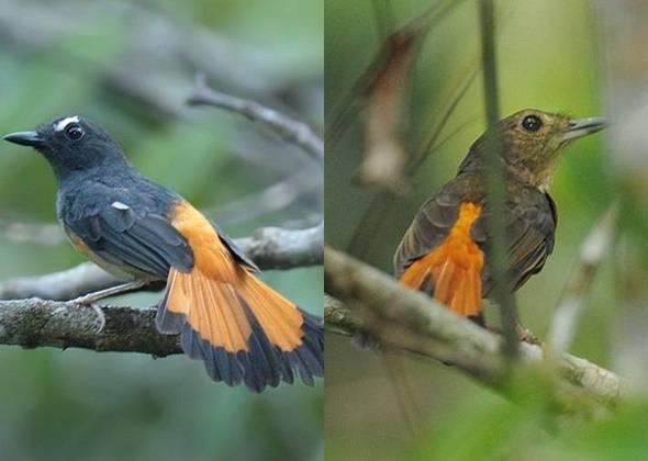 Burung cempala kuning jantan ( kanan ) dan betina ( kiri )