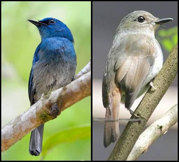 Perbedaan jantan betina sikatan biru muda