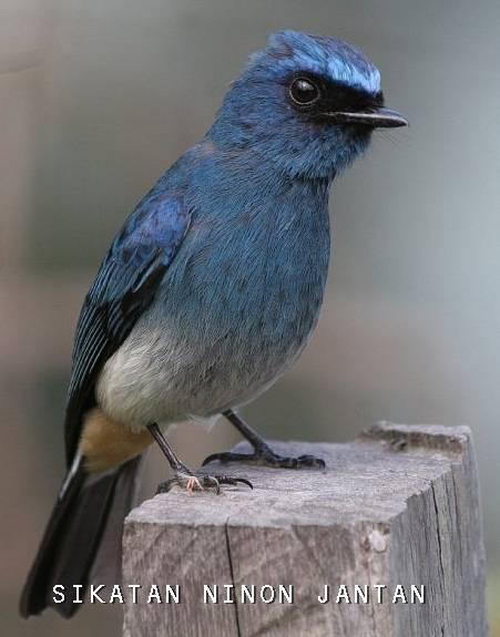perawstan burung pilage indigo resep masakan