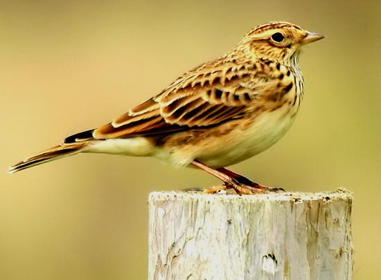 audio burung skylark