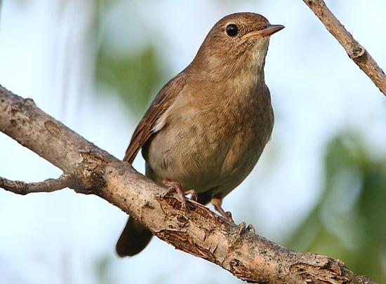 Burung nightingale