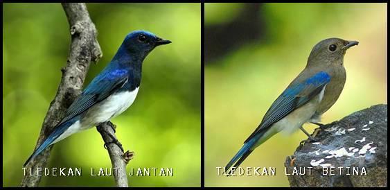 Perbedaan jantan betina sikatan biru putih