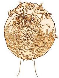 Tungau penyebab scaly face