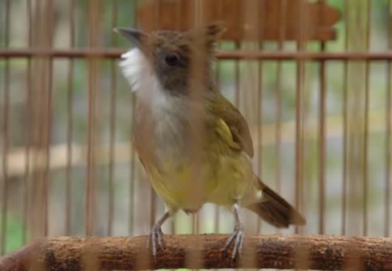 Pakan yang tepat menjadikan burung cepat gacor