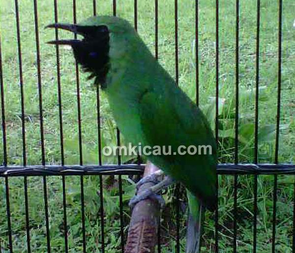 Cucak hijau Dick Doank