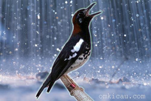 Anis kembang dan musim hujan