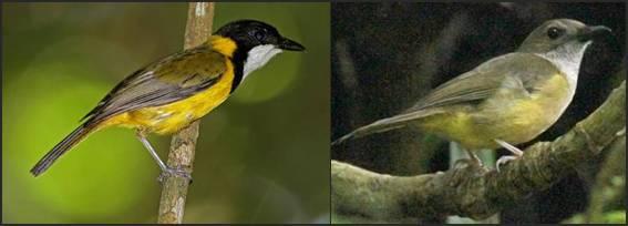 Perbedaan jantan ( kanan ) dan betina burung kancilan emas