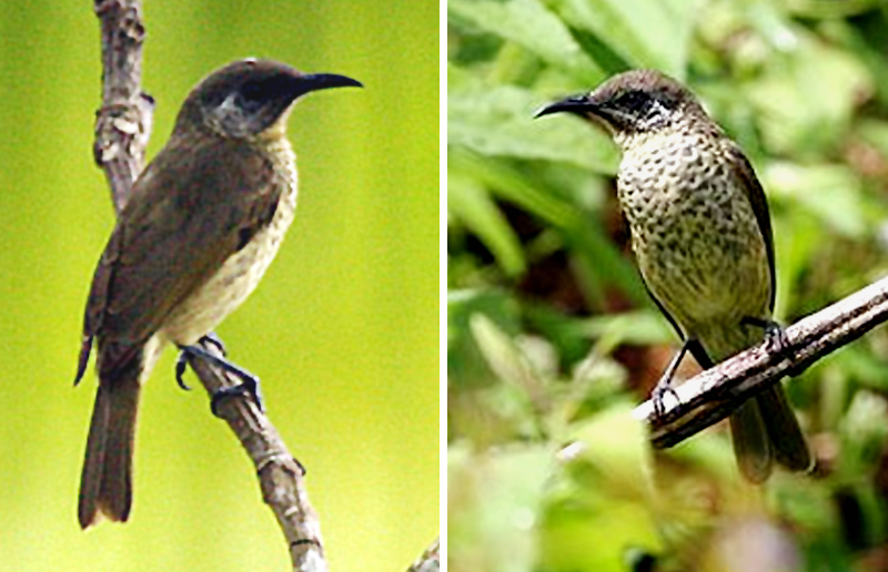 Burung isap-madu babar