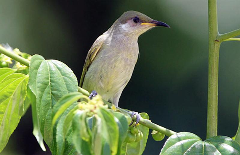 Burung isap-madu zaitun