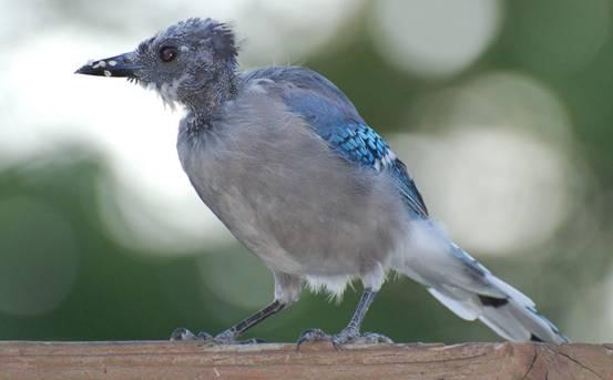 Burung mabung