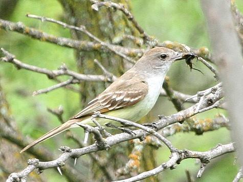 Burung yang makan jangkrik