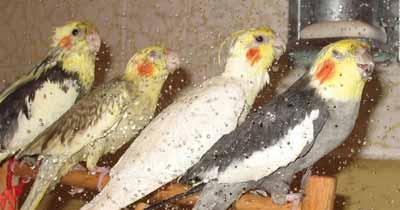 Burung cockatiel yang suka sekali dimandikan dengan shower