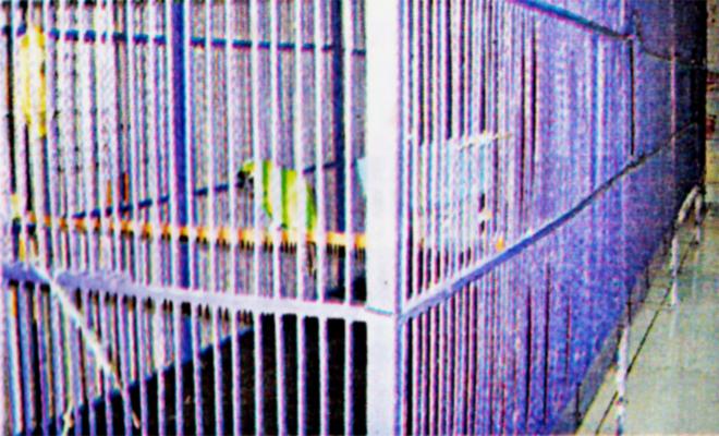 Cucak hijau Aragon milik Mr Baim