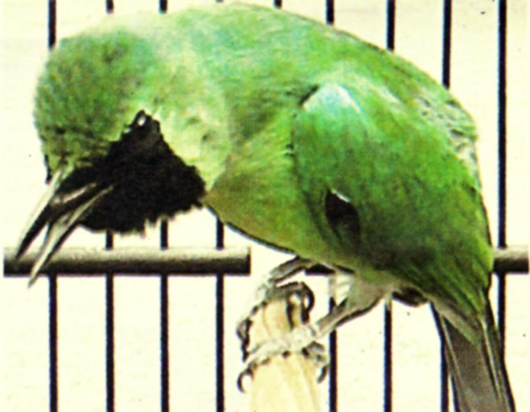 Kresno - cucak hijau jawara