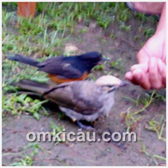 Burung jinak