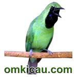 feat cucak hijau dahsyat