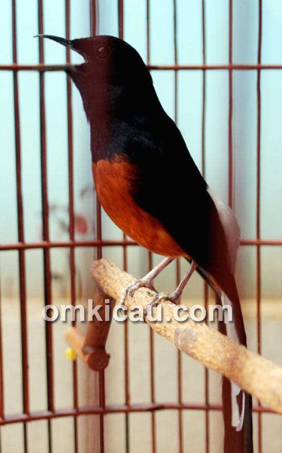 suara burung pleci juara om kicau