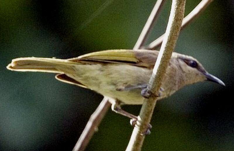 Burung isap-madu australia ras limbata
