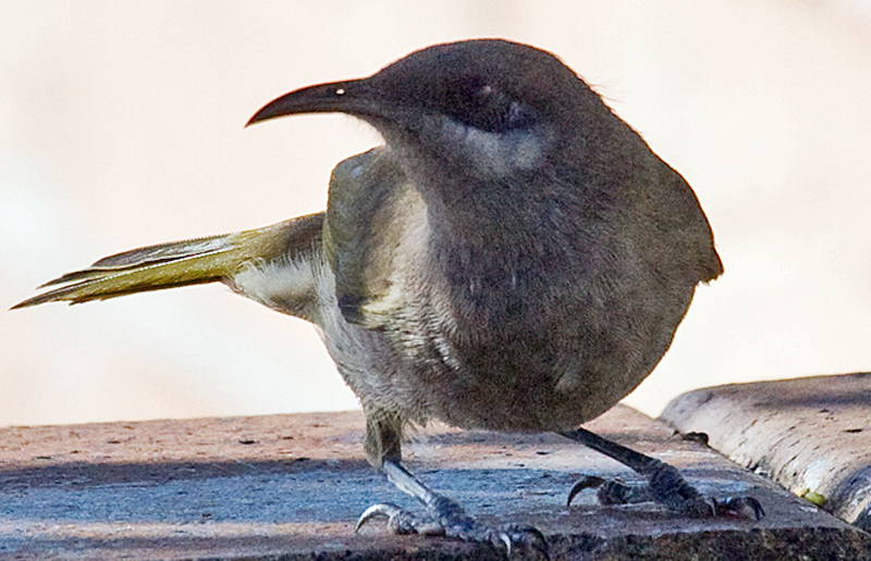 Burung isap-madu cuping kelabu