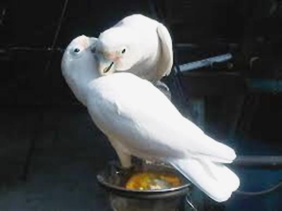Burung kakatua goffin