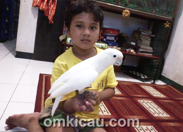 Kakatua Goffin Burung Endemik Indonesia Yang Cerdas Om Kicau