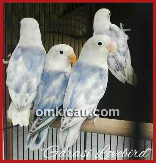 Garasi Lovebird