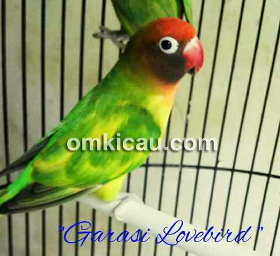 garasi lovebird layani pembelian online klub burung