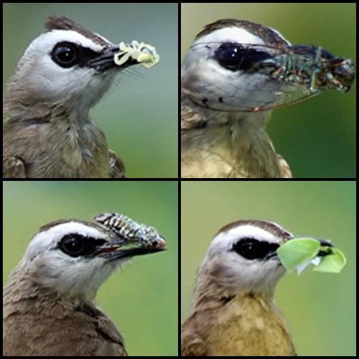 Burung trucukan mudah memakan apa saja yang ditemukannya