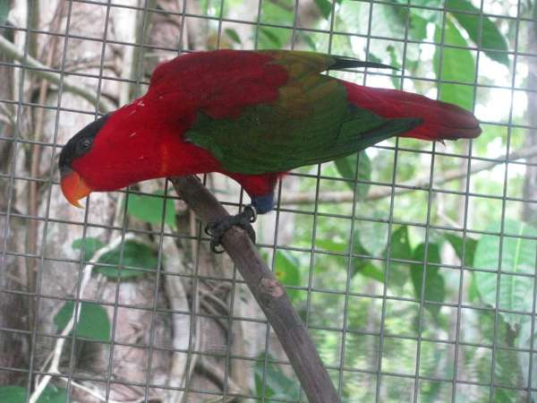 Nuri kepala hitam burung endemik dari Pulau Seram