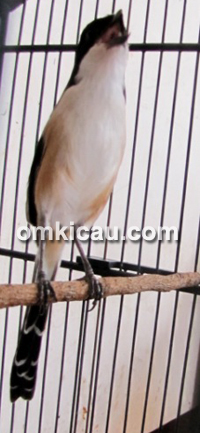 Burung Pentet