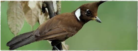 Burung Cililin burung populer untuk masteran