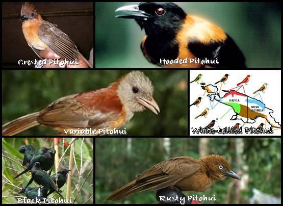 6 spesies Pitohui