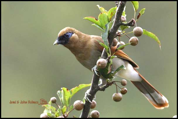 Samho - Buffy Laughingthrush · (Garrulax berthemyi)
