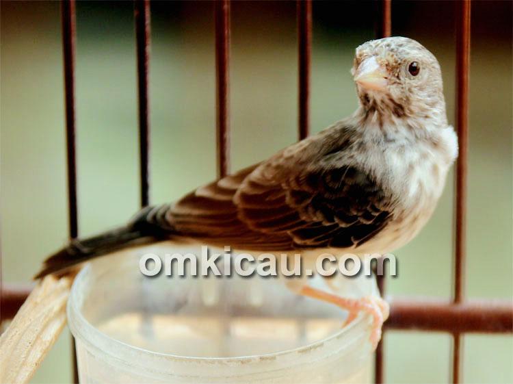 Burung sanger masteran