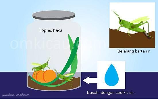 Toples yang digunakan untuk ternak belalang