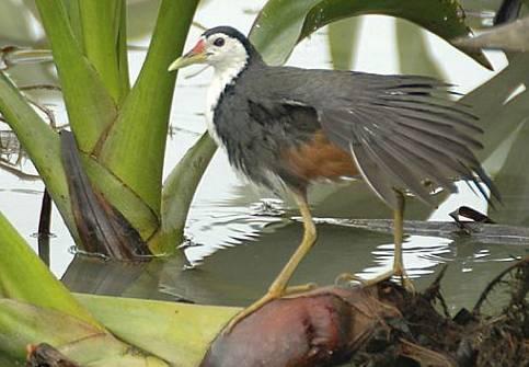 Burung ruak ruak sejenis ayam-ayaman