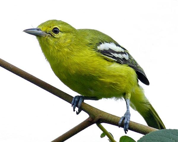 Karakter Dan Perawatan Burung Cipoh Kacat Om Kicau
