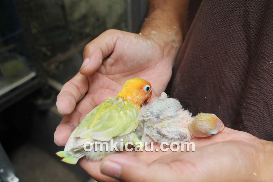 Penangkaran lovebird